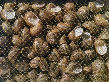 Granjacol - Caracoles medianos