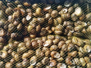 Granjacol - Caracoles pequeños